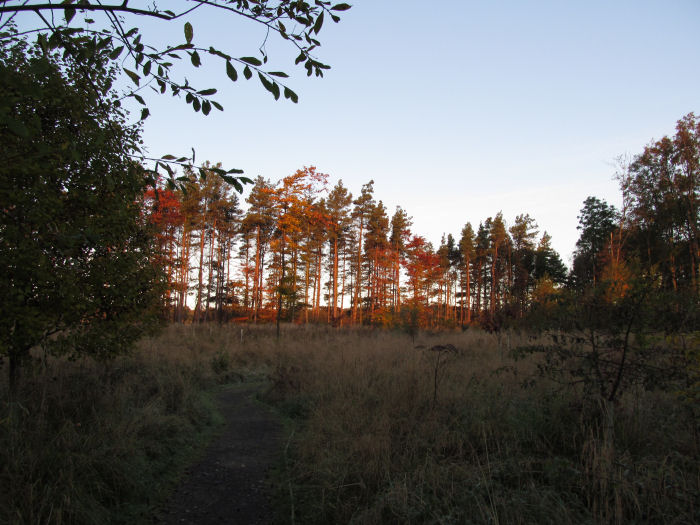 Scots Pines in the early morning sun