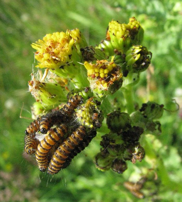 Cinnabar Moths on Ragwort