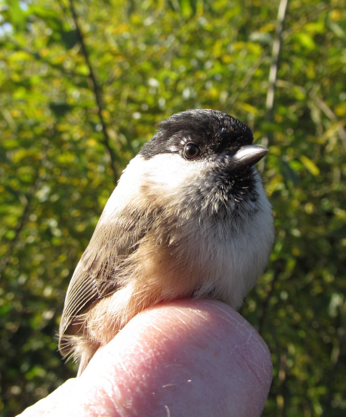 A Willow Tit