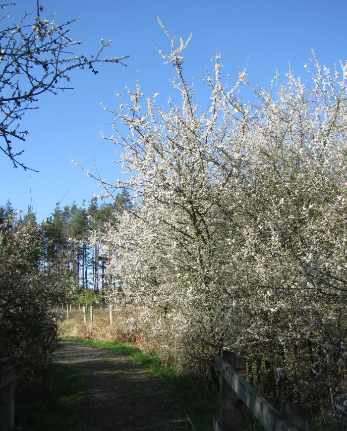 Blue sky and Blackthorn