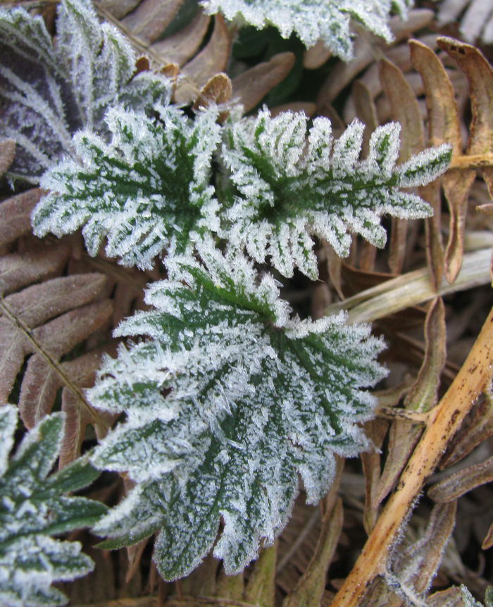 Frosted Nettle