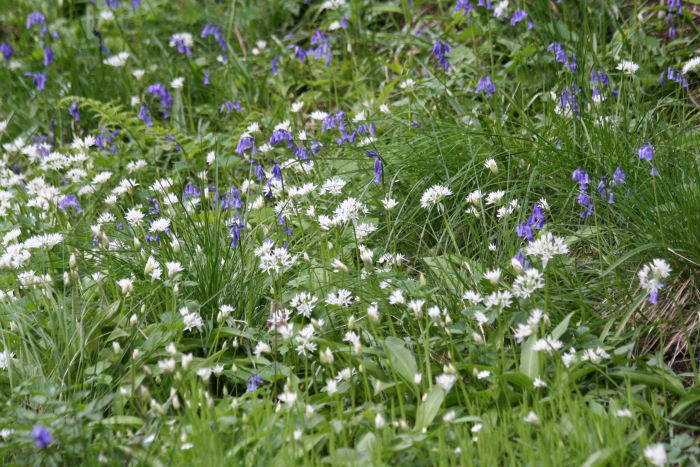 Bluebells and Wild Garlic along Risedale Beck