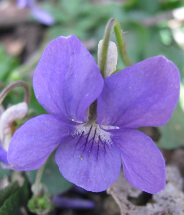 Dog Violet showing honey guides