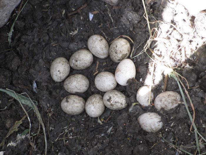 Barn Owl nest