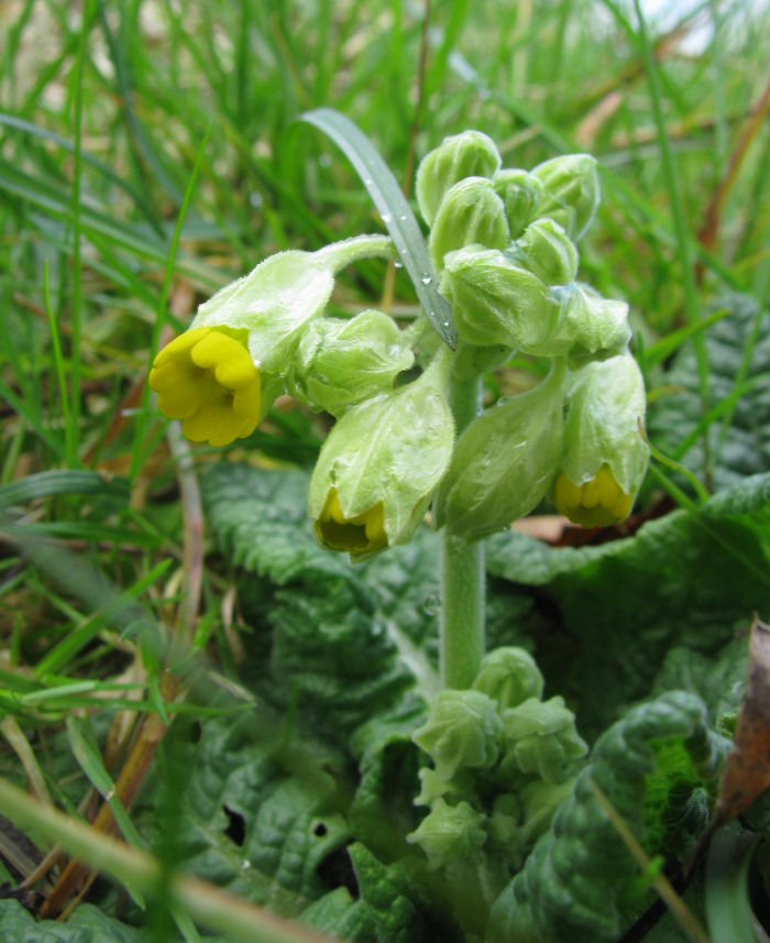 Cowslip just bursting the bud