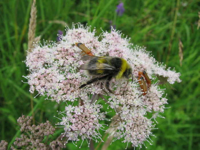 Insects on the umbellifer flower