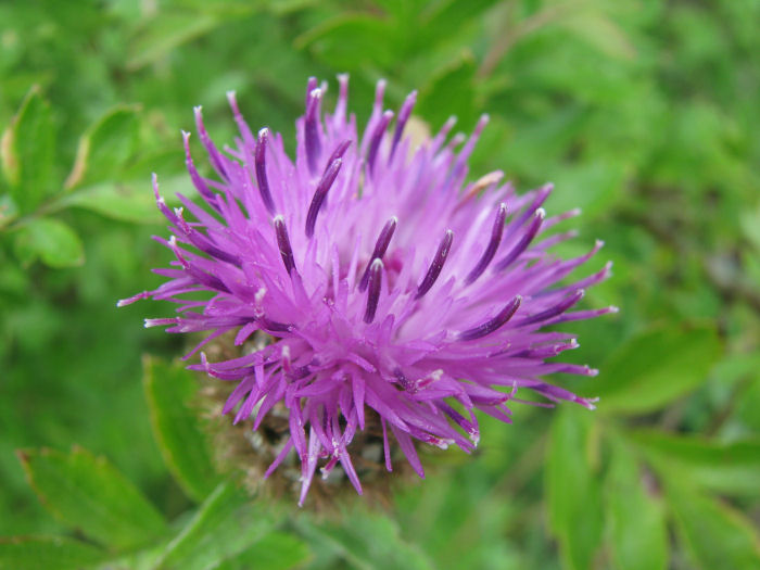 Hardhead flower