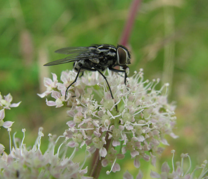 A black and white marked fly