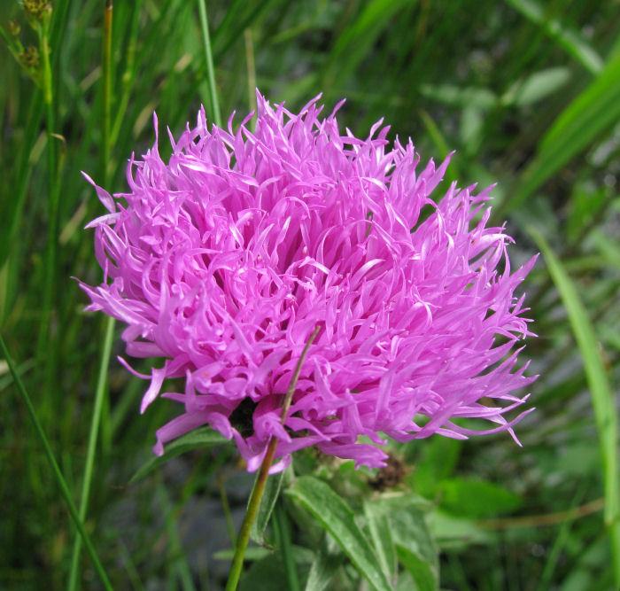 Possible Hardhead flower