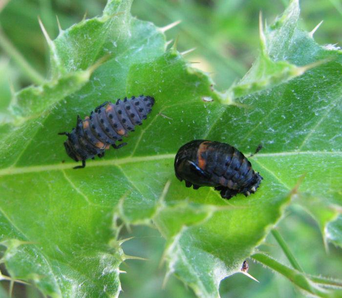 7 Spot Ladybid larva and pupa