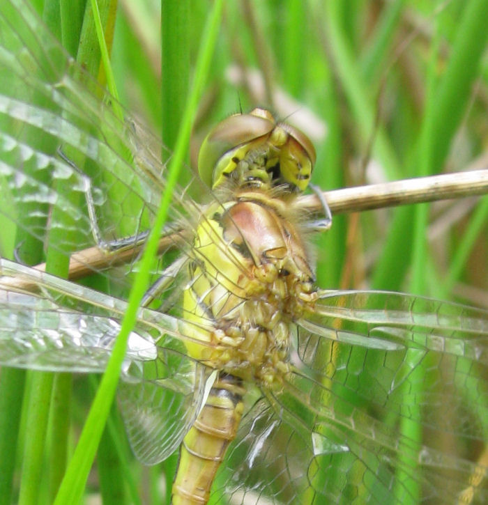 Head and wing mechanism of a dragonfly