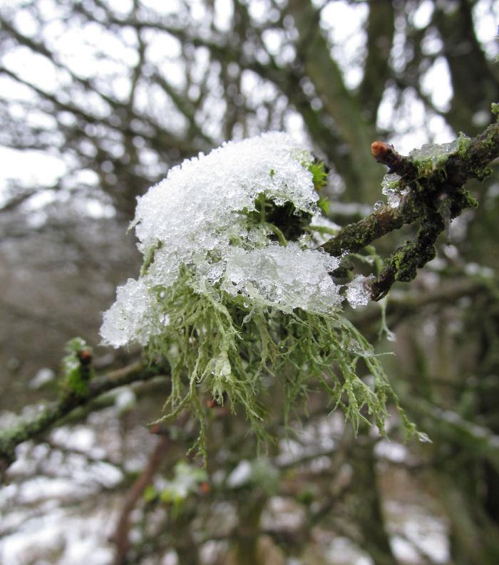 Lichen with snow