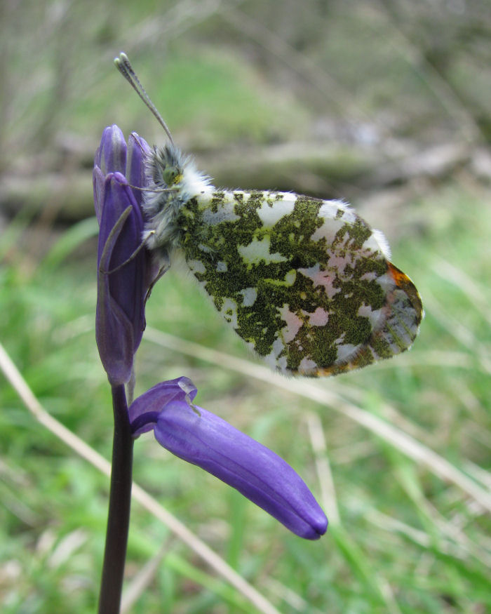 Orange Tip Butterfly on a Bluebell flower