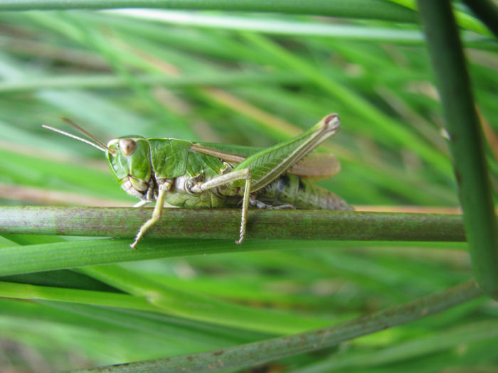 Grasshopper with 6 legs