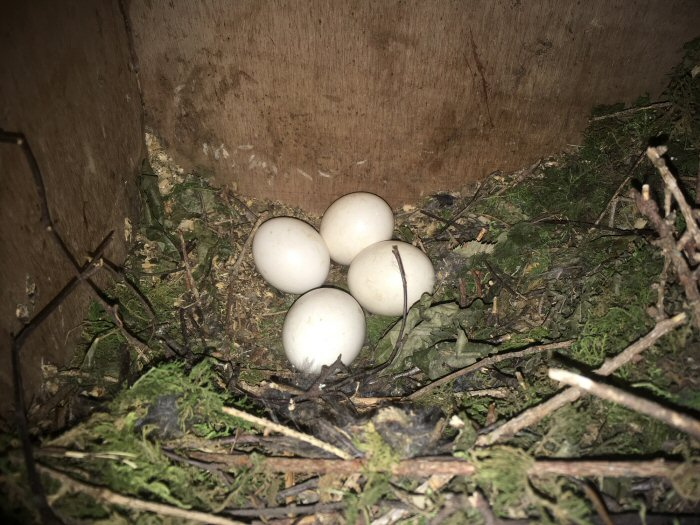 Tawny Owl box with eggs