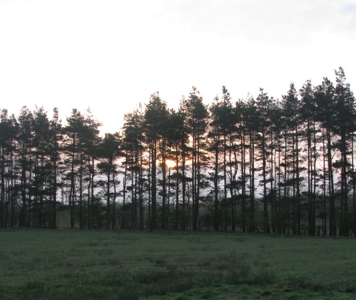 Dawn over the conifers