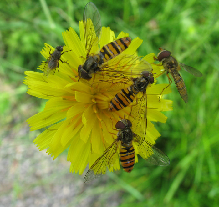 Hover flies on flower