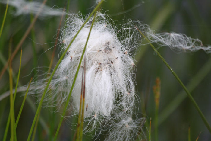 Seeds being released from Cotton Grass