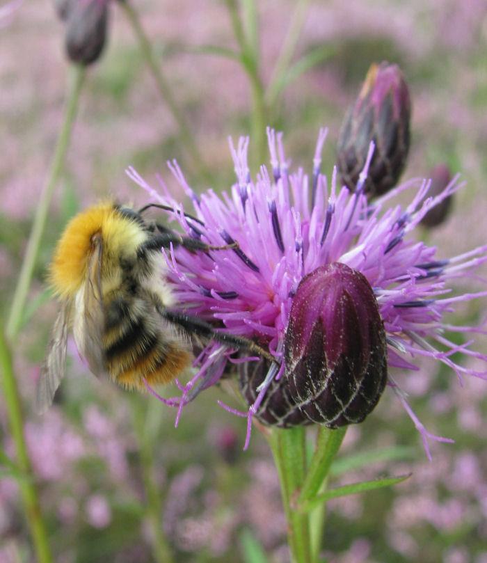 """Furry"" bee on Saw-wort flower"