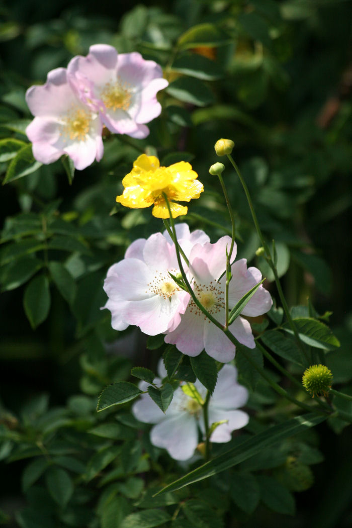 Wild rose and Greater Spearwort