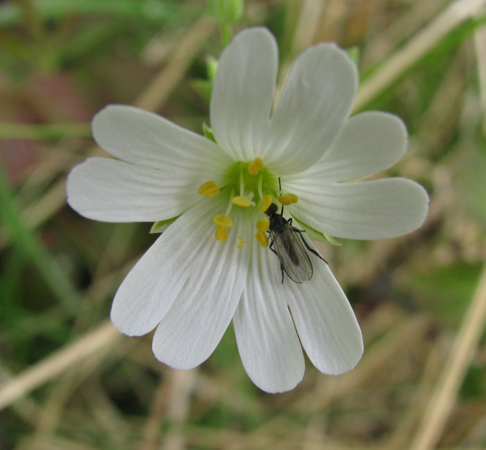 Greater Stitchwort with insect