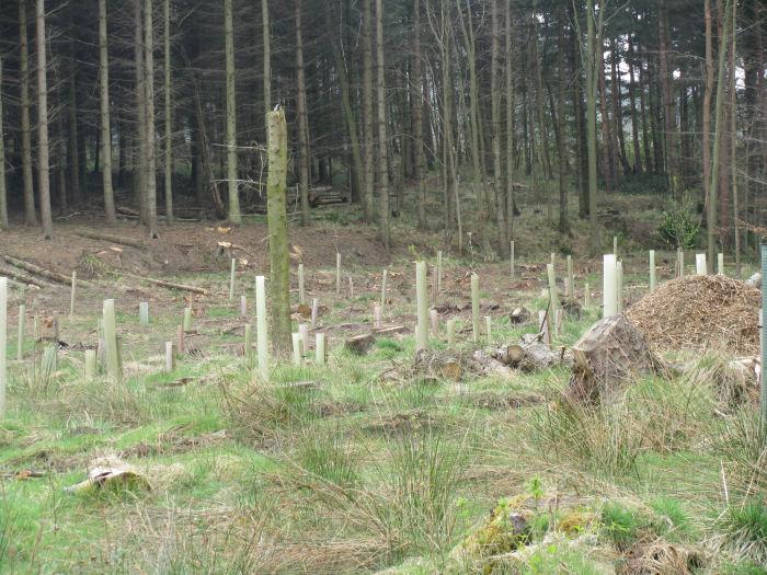 Cleared conifer area