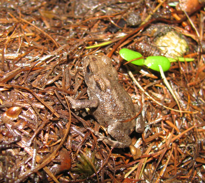 Young Common Toad