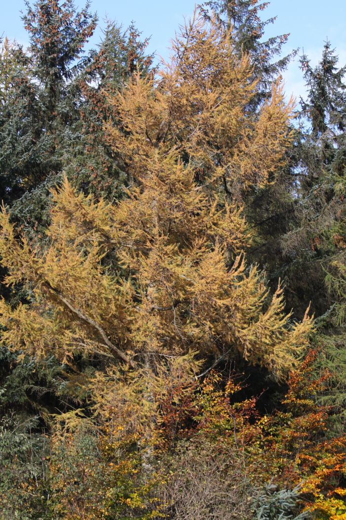Larch in autmun colour