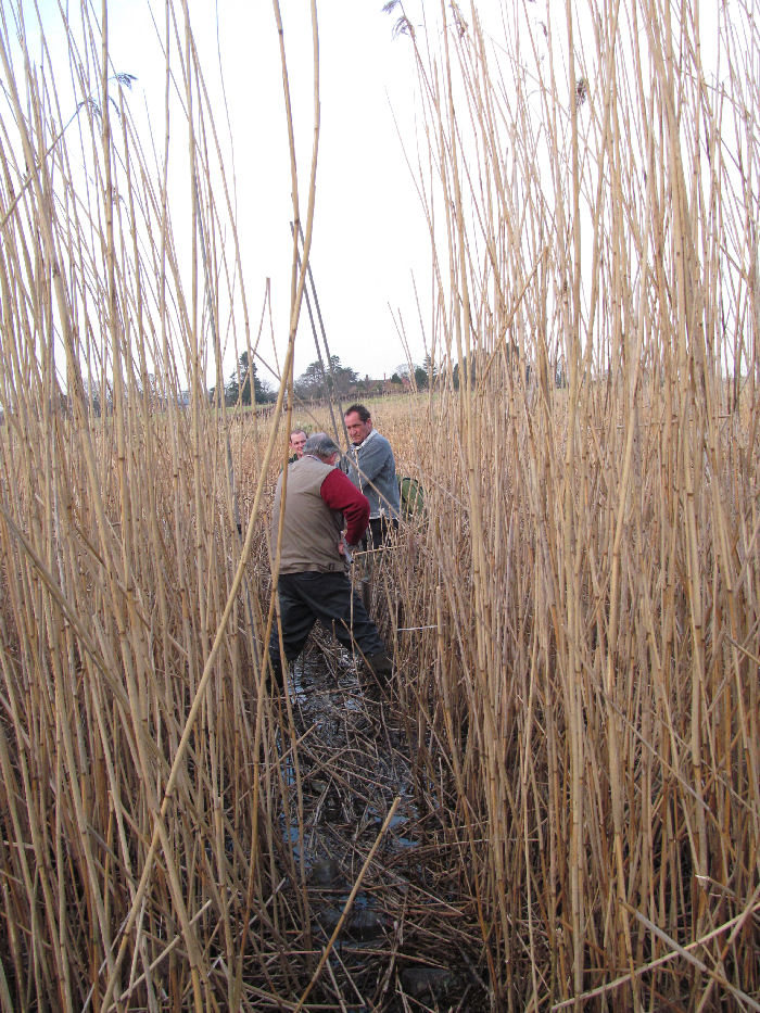 Investigating the reed bed Starling roost