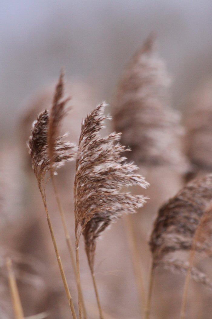 Reed seed head