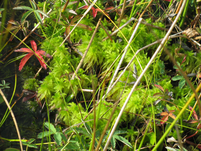 Red leaf and sphagnum moss