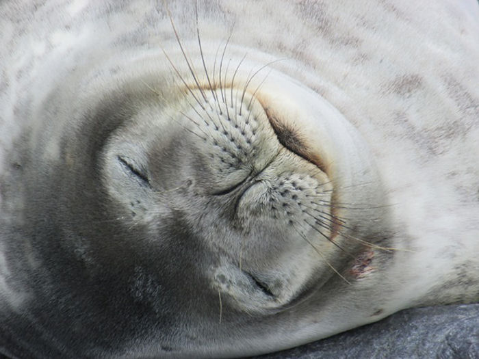 A snoozing Weddel Seal