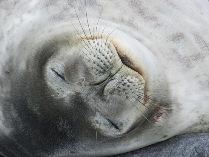 A snoozing Weddel Seal