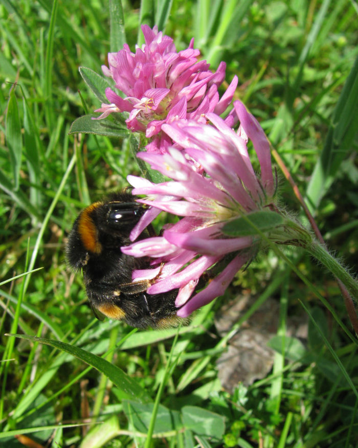 Large Bee on Red Clover