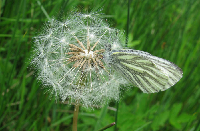 Green Veined White on dandelion seed head