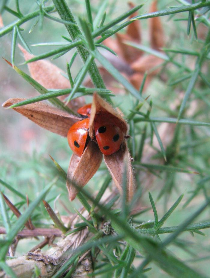 Ladybirds in Gorse seed head