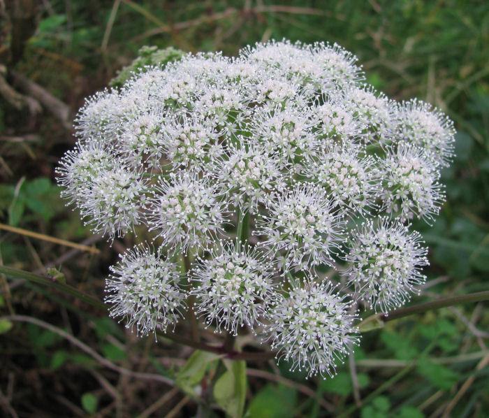 Angelica flower