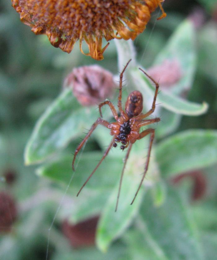 Male spider