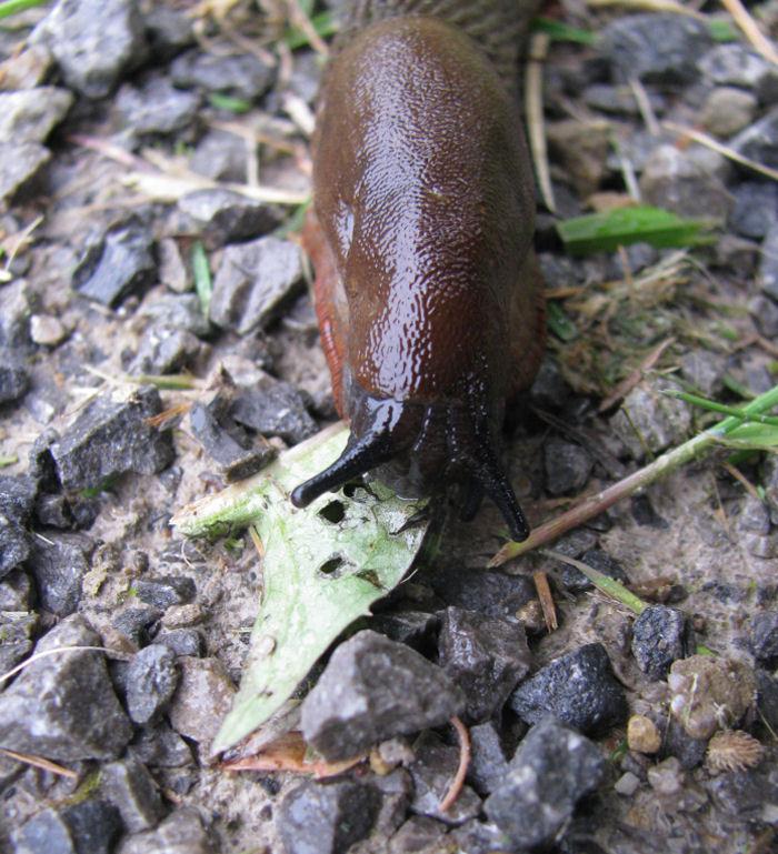 Slug eating leaf on stony path