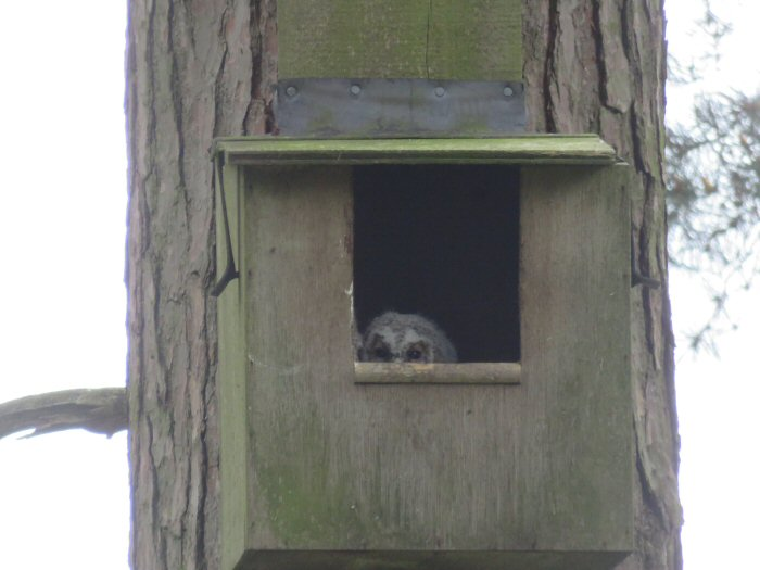 Tawny Owl chick in nest box