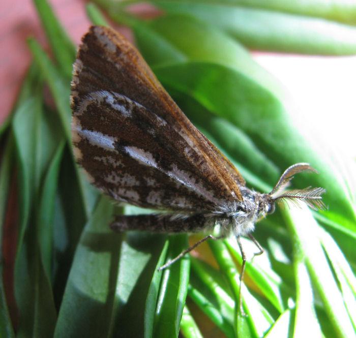 Bordered White moth