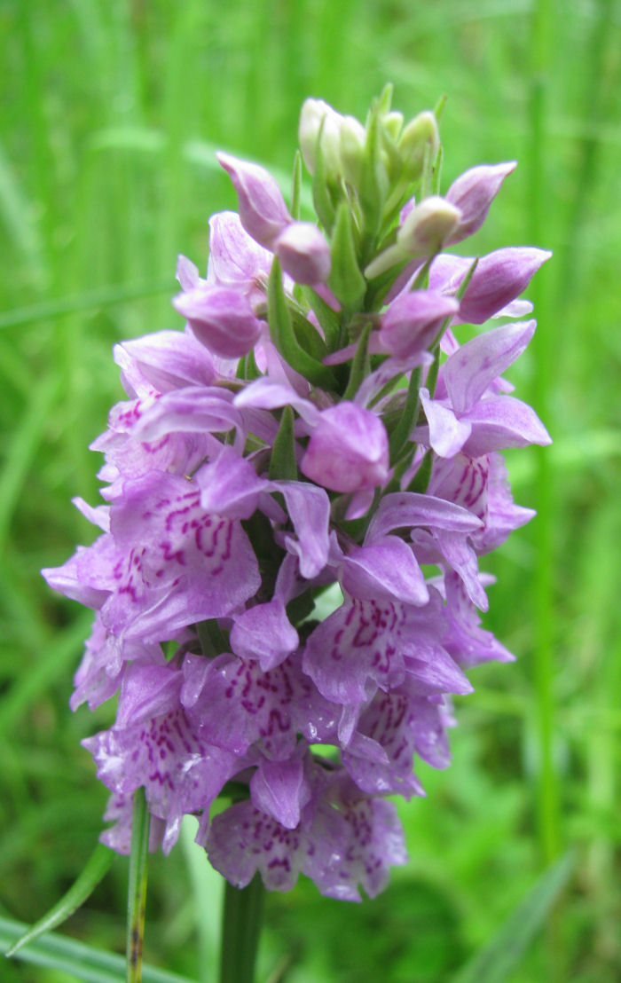 A Common Spotted Orchid?