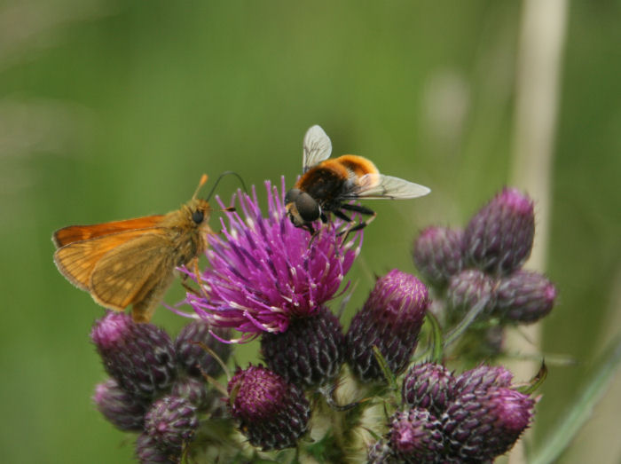 Small Skipper on thistle with fly