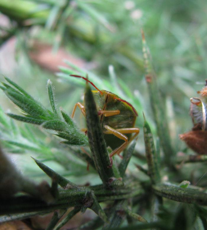 A shieldbug