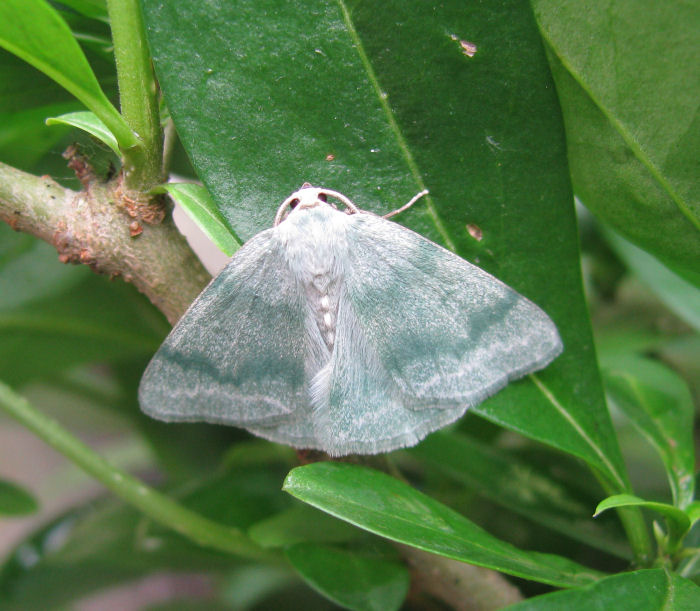 Grass Emerald Moth