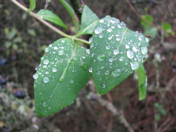 Rain drops on Honeysuckle leaves