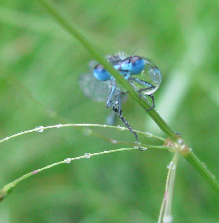 Damselfly with raindrop
