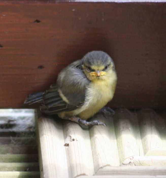 Young fledged chick