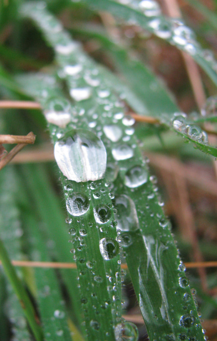 Droplets of water on grass leaf