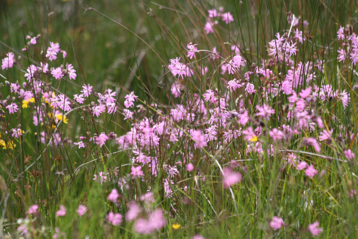 Ragged Robin blowing in the wind